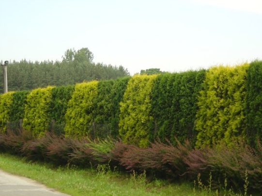 Миксбордер из хвойных деревьев