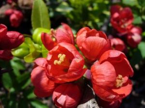 Айва японская посадка уход выращивание полезные