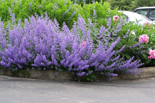 pin flowers catmint nepata on pinterest. Black Bedroom Furniture Sets. Home Design Ideas