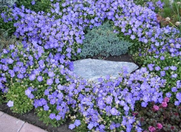 Колокольчик карпатский цветы