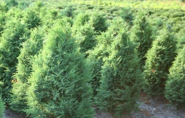 Кипарисовик горохоплодный филифера нана