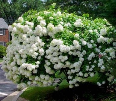 Гортензия выращивание и уход