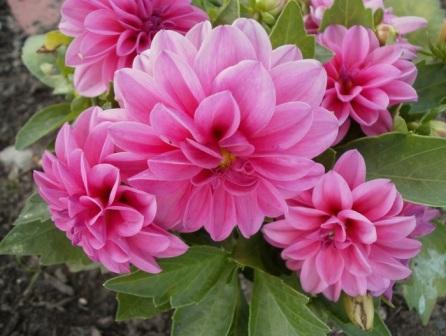 Виды садовых цветов названия и фото 79