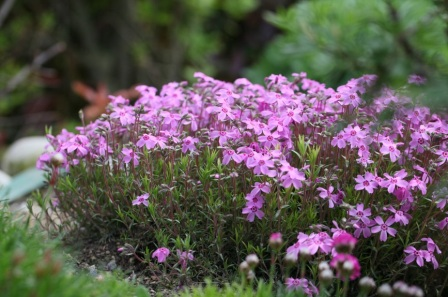 Многолетние почвопокровные цветы цветущие все лето фото