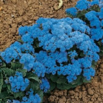 агератум 'Blue Danube' фото цветов