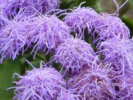агератум 'Blue Mink' фото цветов