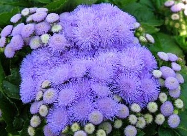 Ageratum houstonianum 'Hawaii Sky Blue'