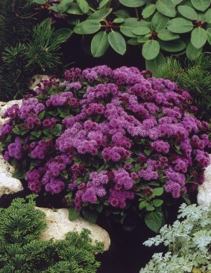 Ageratum  'Purple Fields' фото