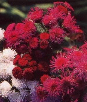 Ageratum houstonianum 'Red Sea'