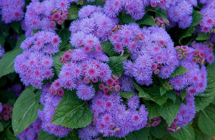 Цветы агератум. Фото известных сортов
