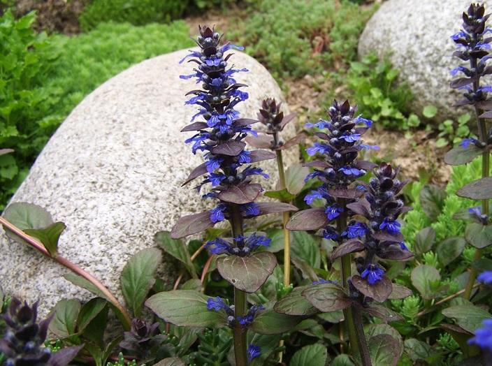 Живучка цветы