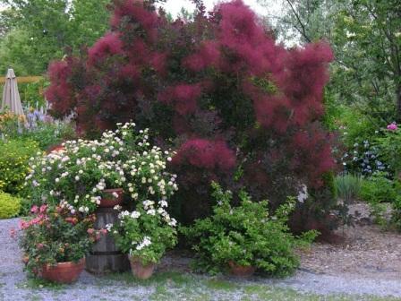 Скумпия – райское облако в вашем саду – Ваш надёжный дом
