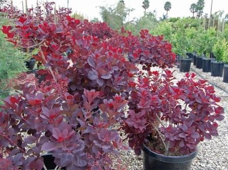 Цветок как дерево с красными листьями