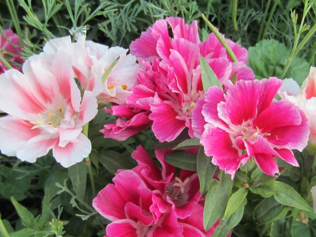 Цветы годеция когда сажать 686