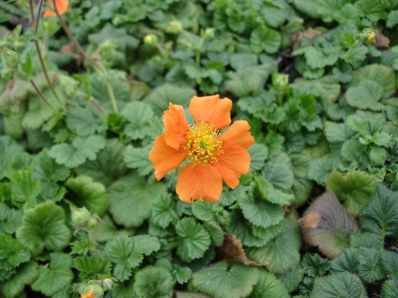 немного двух гравилат фото цветы каких