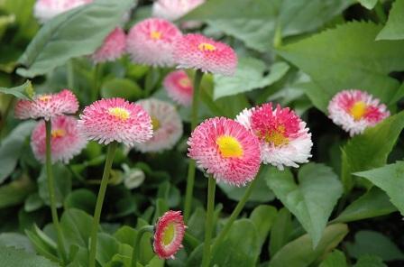 bellis-perennis-bellissima-rosa