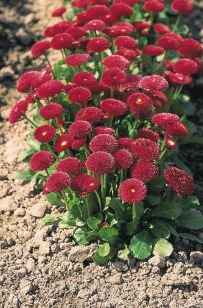 bellis-perennis-tasso-red