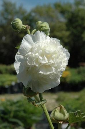 Садовый цветок