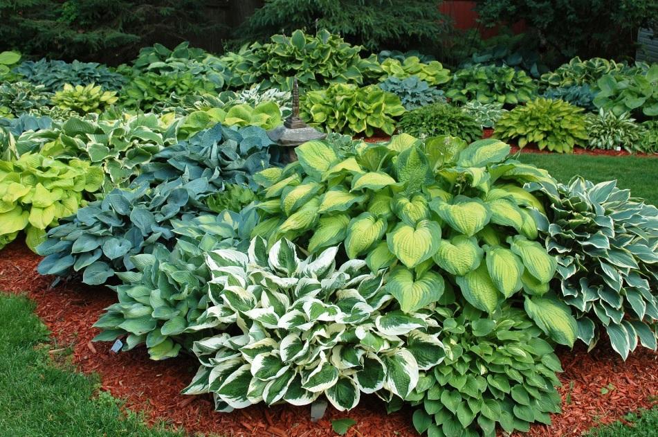 Декоративно лиственные растения для сада